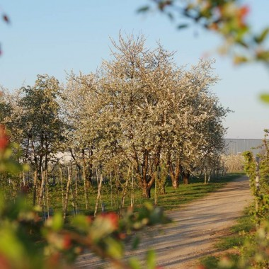 Visite découverte du Verger Expérimental d'Alsace : le printemps au verger