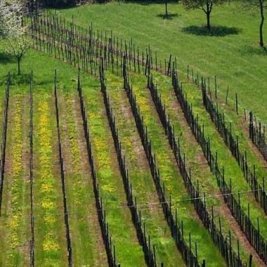 Vineyards and spring