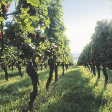 Schwarzwälder Weine